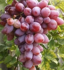 Grapes saplings Ataman
