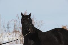Лошадь родословная — Хмельник