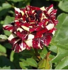 Саженцы роз АБРАКАДАБРА