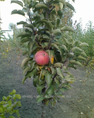 Яблуня колоновидная КВ-102