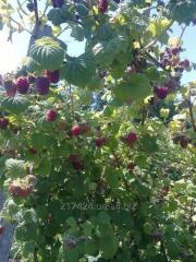 Cаженцы малины Ляшка из рассадника на Украине,