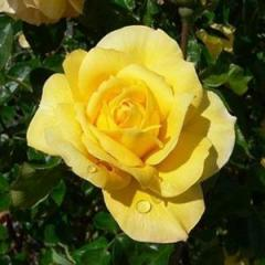 Роза Konsuella