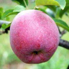 Яблоня флорина зимняя