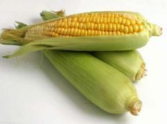 Corn hybrid Lyubava of 279 MV