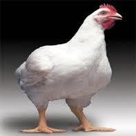 Цыплята бройлеры (тушки или живым весом)