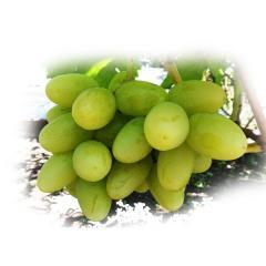 Grapes shanks Bogatyanovsky (Tal.Kh K.Luch.)