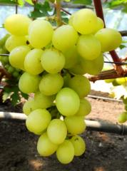Grapes shanks Valek