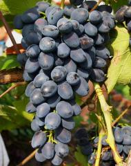 Grapes shanks Giant wholesale