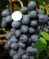 Grapes shanks Versailles wholesale