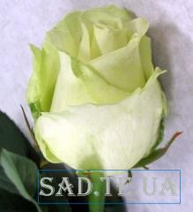 Саженцы роз  Іде