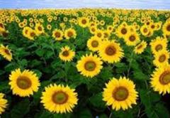Семечки подсолнуха, Sunflower Seeds/