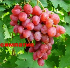 Viktor-2 grapes shanks (Sympathy) wholesale