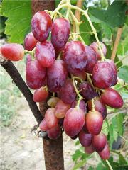 Grapes shanks Vovchik wholesale