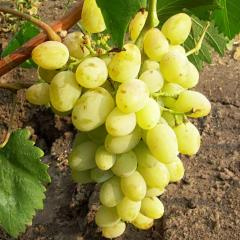 Grapes shanks Galakhad wholesale