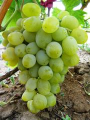 Grapes shanks Harold wholesale