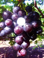 Grapes shanks Duke wholesale