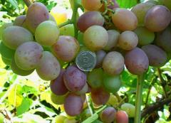 Grapes shanks Count Montekristo (VN-7) wholesale