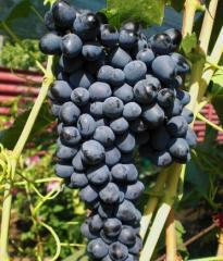 Grapes shanks Gurzufsky pink (tekhnichesk)