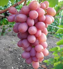 Grapes shanks Gourmet of early 1-12 (ThN),