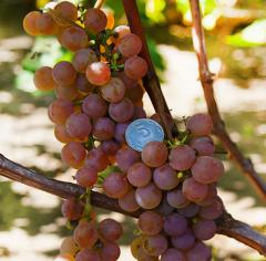 Grapes shanks Diamond, wholesale