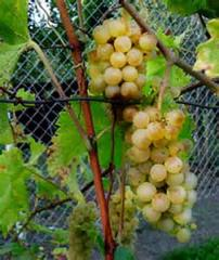 Grapes shanks Dobrynya, wholesale