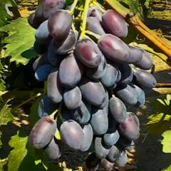 Shanks of grapes of Giovanni, wholesale