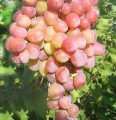 Grapes shanks Dozen, wholesale