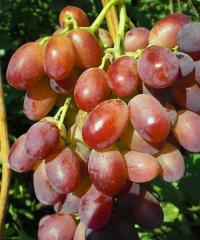 Grapes shanks Cossack captain, wholesale