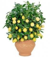 Саженцы домашнего лимона