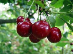 MEANS FOR IRRIGATION fruit trees