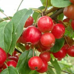 Райская яблоня «Ред Сентинел»