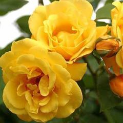 Роза Голден Гейт (Rose Golden Gate)