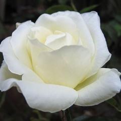 Роза Маунт Шаста (Mount Shasta)