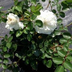 Троянда бордюрна 'Fairy',C2-C3
