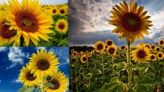"""Seeds of sunflower of """"Rimbaud"""" under granstar"""