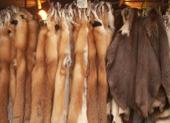 Skins of the American fox
