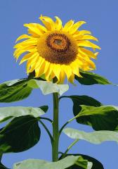 Семена подсолнечника,  устойчивого к...