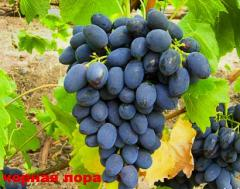 Grapes shanks Entertainment (Black Laura)