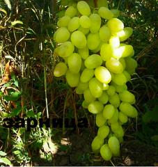 Grapes shanks Summer lightning, wholesale
