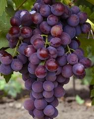 Grapes shanks the Dawn without dawning, wholesale