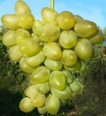 Grapes shanks Gold, wholesale
