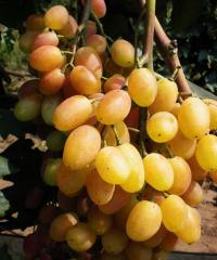 Grapes shanks Refined, wholesale