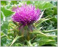 Graines Milk Thistle Milk Thistle