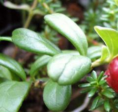 Leaf of cowberry