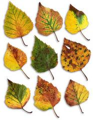 To buy leaf of birch in Ukraine