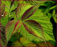 Leaf of raspberry, Culture medicinal