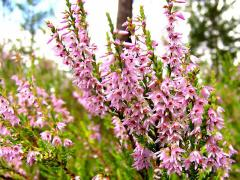 Heather of .trav, heather color, Herbs medicinal,