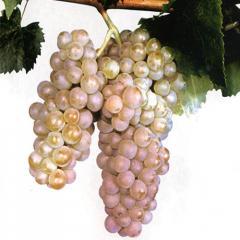 Саженцы винограда Алиготе ранний технический сорт