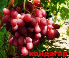 Grapes shanks Kandahar