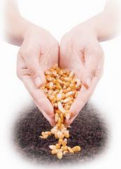 Семена рапса, сорго, сахарной свеклы, кукурузы и